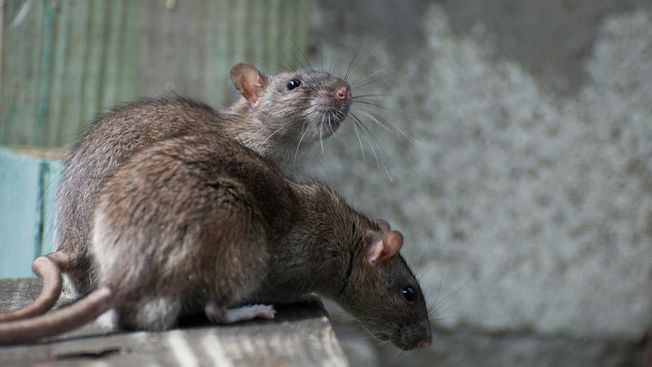 Two rats that have been found in a home